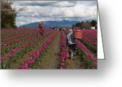 Migrant Greeting Cards - In the Tulip Fields Greeting Card by Mike Reid
