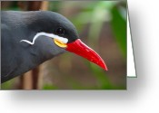 Tern Greeting Cards - Inca Tern Greeting Card by Julia Wilcox