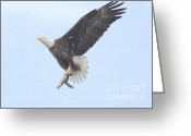 Eagle In Flight Greeting Cards - Incoming Food Greeting Card by Deborah Benoit