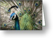 Iridescent Greeting Cards - Indian Blue Peacock Puohokamoa Greeting Card by Sharon Mau