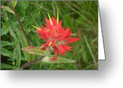 Mark Lehar Greeting Cards - Indian Paintbrush Greeting Card by Mark Lehar