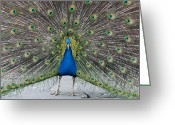 Tail Feather Greeting Cards - Indian Peacock Greeting Card by Denise Swanson
