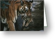 Head Of State Greeting Cards - Indian Tigress, Sita, Moves Her Cubs Greeting Card by Michael Nichols