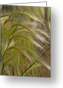 Windy Greeting Cards - Indiangrass Swaying Softly with the Wind Greeting Card by Christine Till
