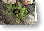Crevice Greeting Cards - Indians Dream Fern (aspidotis Densa) Greeting Card by Bob Gibbons