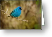 Vertebrate Greeting Cards - Indigo Bunting Bird Greeting Card by Chad Davis