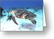 Hawksbill Turtle Greeting Cards - Injured Hawksbill Turtle With Damaged Greeting Card by Karen Doody