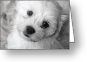 Dog Prints Photo Greeting Cards - Innocence Greeting Card by Lisa  DiFruscio