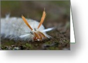 Hairdo Greeting Cards - Insect Larvae with Hairdo Greeting Card by Douglas Barnett