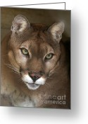 Puma Greeting Cards - Intense Cougar Greeting Card by Sabrina L Ryan