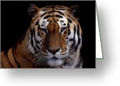 Cat Picture Greeting Cards - Intense Greeting Card by Skip Willits
