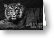 Black Fur Greeting Cards - Intent Greeting Card by Andrew Paranavitana