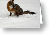 Intent Greeting Cards - Intent Red Fox Greeting Card by Douglas Barnett