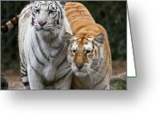 Intent Greeting Cards - Intent Tigers Greeting Card by Douglas Barnett
