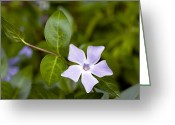 Vinca Flowers Greeting Cards - Intermediate Periwinkle (vinca Difformis) Greeting Card by Bob Gibbons
