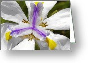 White Flower Greeting Cards - Iris An Explosion of Friendly Colors Greeting Card by Christine Till