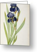 Purple Painting Greeting Cards - Iris Germanica Greeting Card by Pierre Joseph Redoute