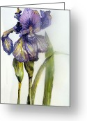 Day Drawings Greeting Cards - Iris in Bloom Greeting Card by Mindy Newman