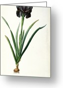 Violet Purple Greeting Cards - Iris Luxiana Greeting Card by Pierre Joseph  Redoute