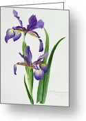 Violet Purple Greeting Cards - Iris monspur Greeting Card by Anonymous