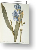 Engraving Greeting Cards - Iris Pallida Greeting Card by Pierre Joseph Redoute