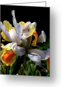 Flora Photo Greeting Cards - Iris Greeting Card by Rona Black