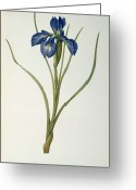 Leaf Painting Greeting Cards - Iris Xyphioides Greeting Card by Pierre Joseph Redoute