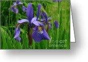 Randi Shenkman Greeting Cards - Irises Greeting Card by Randi Shenkman