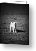 Charolais Greeting Cards - Irish Lone Calf In A Field Greeting Card by Joe Fox