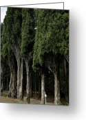 European Union Greeting Cards - Italian Cypress Trees Line A Road Greeting Card by Todd Gipstein