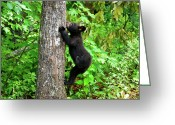 Black Bear Climbing Tree Greeting Cards - Itchy Baby Greeting Card by Christi Kraft