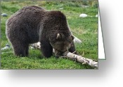 American Brown Bear Greeting Cards - Itchy Nose Greeting Card by Paul Cannon