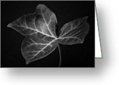 Botanical Greeting Cards Prints Greeting Cards - Ivy Leaf  I - Black and White Macro Nature Photograph Greeting Card by Artecco Fine Art Photography - Photograph by Nadja Drieling