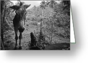Burro Greeting Cards - Jack Greeting Card by Skip Hunt