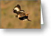 Buzzard Wings Greeting Cards - Jackal Buzzard flight Greeting Card by Alistair Lyne