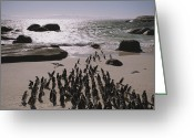 Rock Groups Greeting Cards - Jackass Penguins Along The Shoreline Greeting Card by Joel Sartore