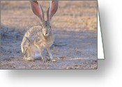 Hare Greeting Cards - JackRabbit Watching Greeting Card by Steven Love
