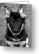 German Shepard Digital Art Greeting Cards - Jager Greeting Card by Stacey May