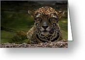 Evansville Greeting Cards - Jaguar in the Water Greeting Card by Sandy Keeton