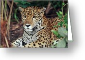 Carnivores Greeting Cards - Jaguar Panthera Onca Hunting Greeting Card by Michael & Patricia Fogden