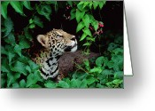 Cat Profile Greeting Cards - Jaguar Panthera Onca Peeking Greeting Card by Claus Meyer