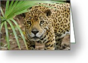 Peering Greeting Cards - Jaguar Peering Through The Brush Greeting Card by Thomas Marent