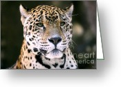 Louisiana Greeting Cards - Jaguar Greeting Card by Scott Pellegrin