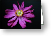 Anemone  Greeting Cards - Japanese Anemone prince Henry Greeting Card by Achim Mittler, Frankfurt am Main