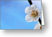 Stamen Greeting Cards - Japanese Apricot (ume) Blossom Greeting Card by Ka_tate