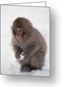 Primates Greeting Cards - Japanese Macaque Macaca Fuscata Baby Greeting Card by Konrad Wothe