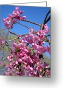 Pink Flower Branch Greeting Cards - Japanese Weeping Cherry Blossoms Greeting Card by Janice Paige Chow
