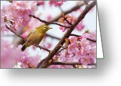 Animal Themes Greeting Cards - Japanese White-eye On Cherry Blossoms Greeting Card by David A. LaSpina