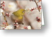 The Cape Greeting Cards - Japanese White-eye Greeting Card by Yuji Takahashi