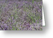 Jardins Greeting Cards - Jardin Lavender Greeting Card by Carol Groenen